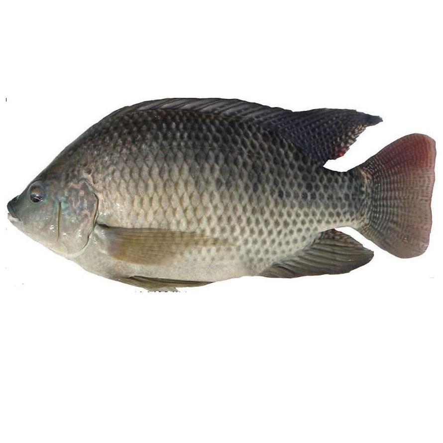 Tilapia whole frozen fish